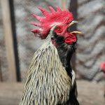 Cockerels Crowing – Background Noise